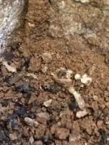 active termites